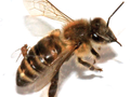 "Pszczoła z muchówką Apocephalus borealis, składającą jaja w jej ciele. Autorzy: Core A., Runckel C., Ivers J., Quock C., Siapno T., et al. (2012). A new threat to honey bees, the parasitic phorid fly ""Apocephalus borealis"". PLoS ONE 7 (1). DOI:10.1371/journal.pone.0029639. Retrieved on 04 January 2012, źródło: http://commons.wikimedia.org, dostęp: 04.11.14."